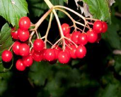 Gilaburu nektarı